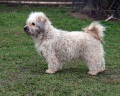 Feny barevných boloňských psíků nemají problémy při krytí 5f8b039f15