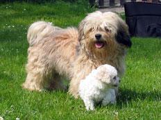 Barevný boloňský psík se má od bílého boloňského psíka odlišovat pouze  barvou při zachování exteriéru i povahy. dbc5d14542